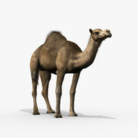 camel dromedary obj