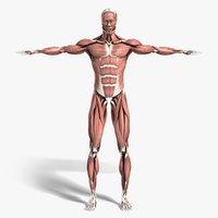medically anatomically human muscular max