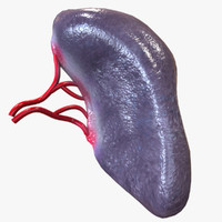 3d human spleen model