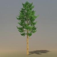 max trees pinus