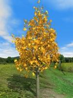 free 3d-trees maple 3d model