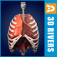 Lungs ANIMATED by 3DRivers