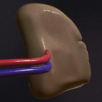 3d realistic human spleen model