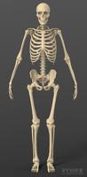 3d model human male skeleton exact