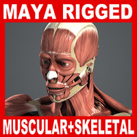 3d ma rigged male muscular skeletal