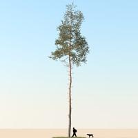3d realistic pine tree model