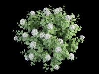 hortensia hydrangea 70