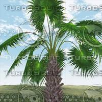 3d mexican fan palm