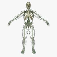 lymphatic skeleton body x