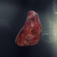 human spleen anatomy 3d model