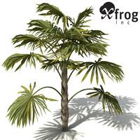 max xfrogplants australian cabbage palm