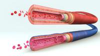 Blood vessels anatomy