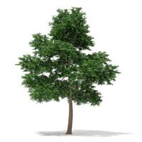 3d scots pine tree pinus