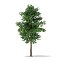 scots pine tree pinus 3d model