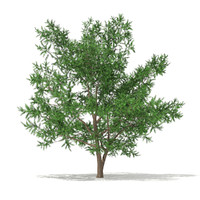 3d model scots pine pinus