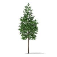 scots pine tree pinus c4d