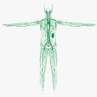 lymphatic spleen 3d model