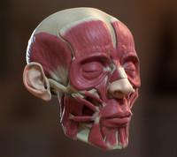 3d human head ecorche
