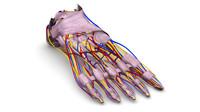foot bones ligaments nerves obj