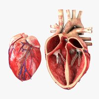 Heart with Anatomical Cross Section